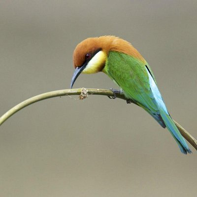 Bee-eater, taken from a blind