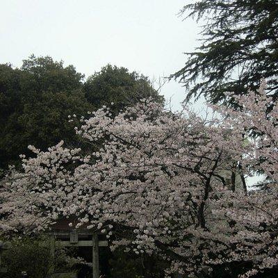 かなりの桜が楽しめるぞ