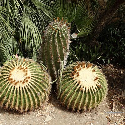 un engrenage naturel de cactus
