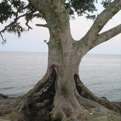 Árvore à beira da Lagoa