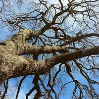Quercia virgiliana del bosco dell'Incoronata