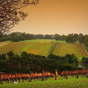 Vineyard Mornington Peninsula