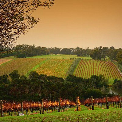 Vineyard Mornington Peninsula
