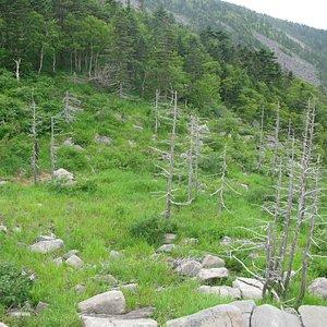 вымершие деревья на Пидане