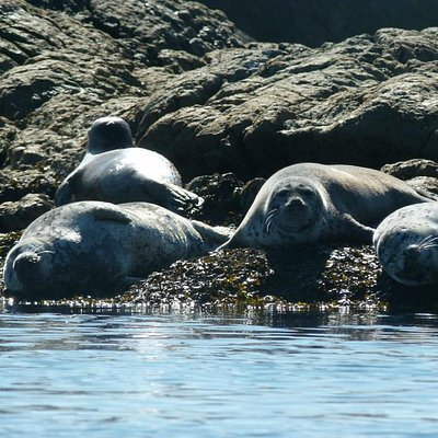 Harbour Seals at Seal Island