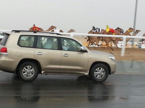 Qatar Camel Racing