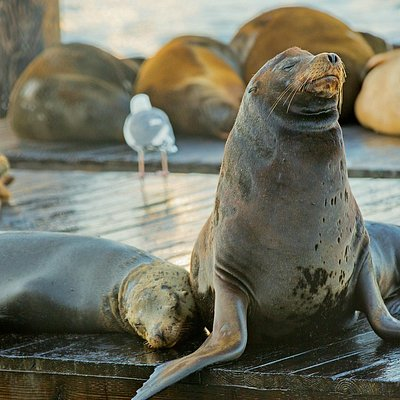 Watch the world-famous sea lions at PIER 39