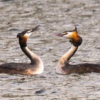 Eastleigh - Great Crested Grebbes displaying
