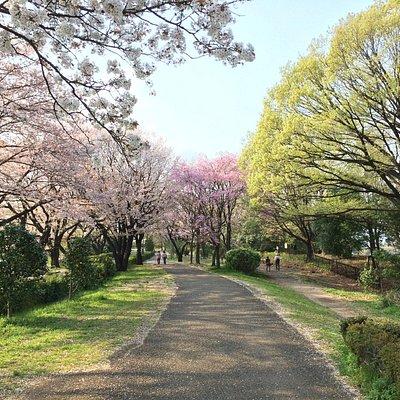 多くの品種の桜があります。