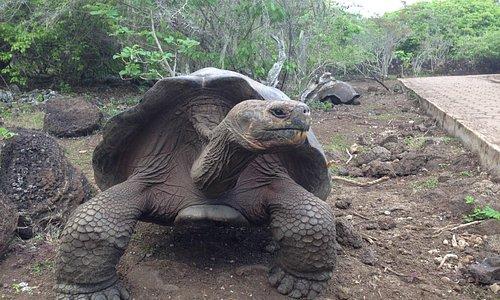 Giant Tortois