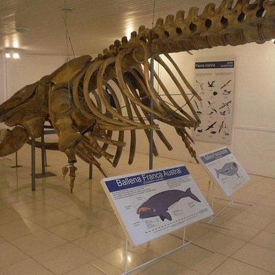 Esqueleto da baleia Franca Austral