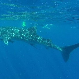 Snorkelling with the Whale Sharks, 15/04/14.