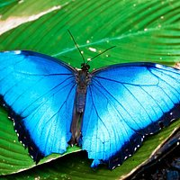 The blue Morpho-the most beautiful in all the Americas.