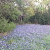 Bluebonnet area in the park.