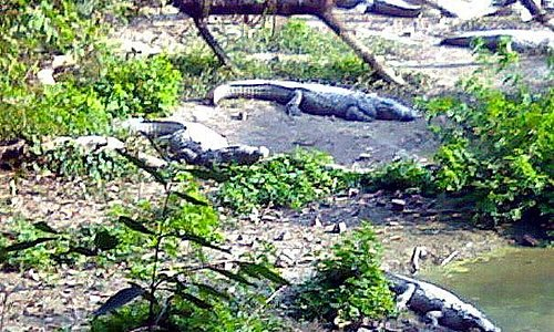 Crocodiles at Kukrail Forest Reserve