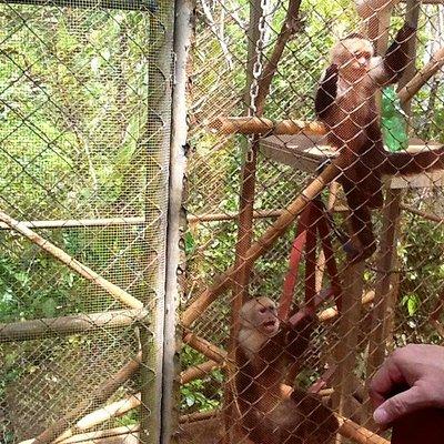 KSTRF Capuchin monkeys