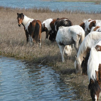 Assateague to Chincoteague Ponies tour