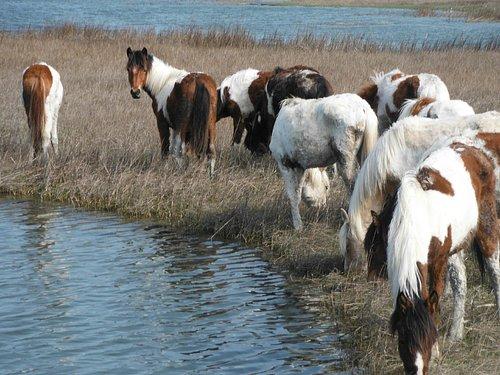 Assateague to Chincoteague Ponies tour
