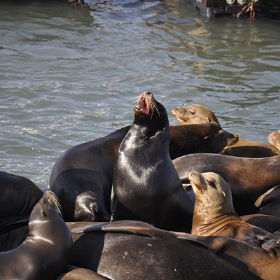 California sea lions at the doc, PIER 39.