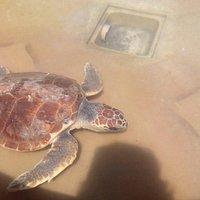 Una tartaruga in cura nel loro centro di recupero animali selvatici.