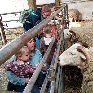 Feeding the sheep in the barn (MVUF)