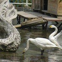 Geese at play.