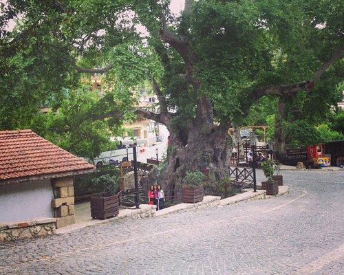 Musa ağacı