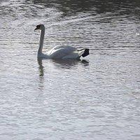 Swan on Lake Morton