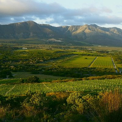 Springfontein's Vineyards seen from Slope Cottage