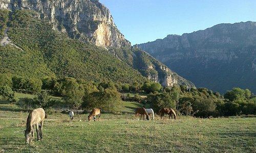 Horses grazing with Vikos Gorge backdrop