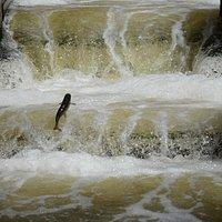 Steelhead jumping in the fish ladder.