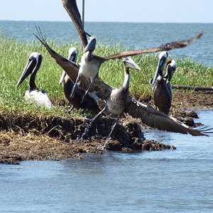 The pelicans on Beacon Island