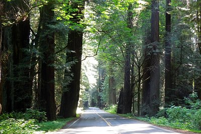 Avenue of the Redwoods