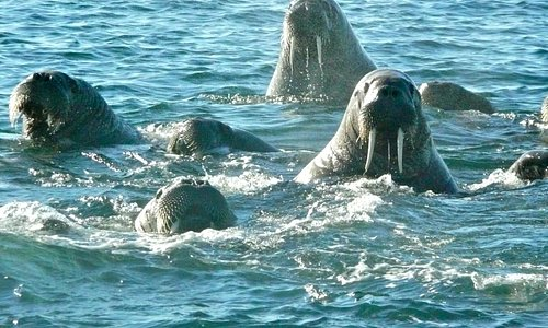 Boat trip from the hotel: Walruses