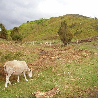 Lyngbakker med får