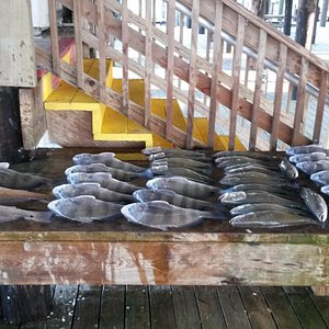 Black drum, redfish, and speckled trout