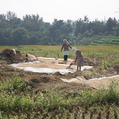 paddy's harvesting