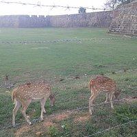 Fort Frederick deer.