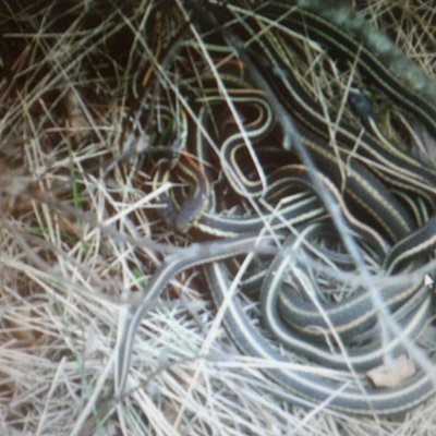 A small matting ball of red sided garter snakes