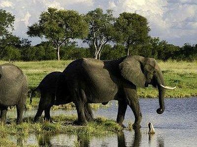 Captured at maasai mara safari.  Elephants are found roaming in close knit herds.