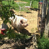 Ollie the Vietnamese pot-bellied pig