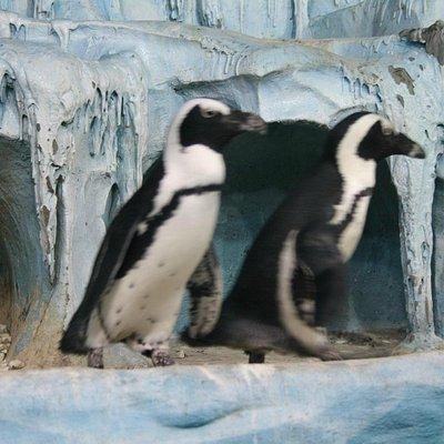 А мы пингвинчики - а нам не холодно!