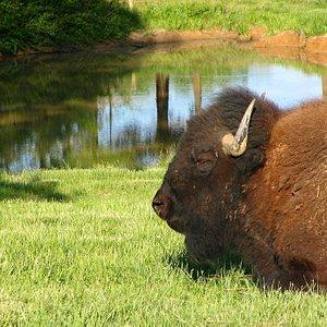 Bison at Elk & Bison Prairie