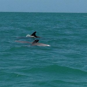 Dolphins just off of Key West, FL
