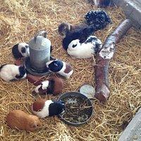 Guinea pigs galore