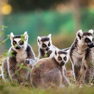 la famille maki catta, lémuriens de Madagascar