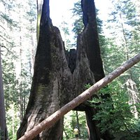 "Old ""drive through"" tree at Tuolumne Grove"