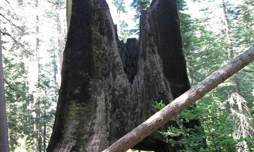 "Old ""drive through"" tree at Tuolumne Grove"