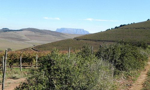 Vineyards in the Tygerberg Valley, where a high point has a glimpse of Table Mountain