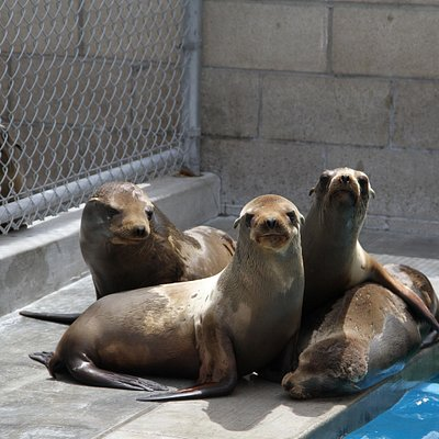 Sea Lions Recovering at Pacific Marine Mammal Center